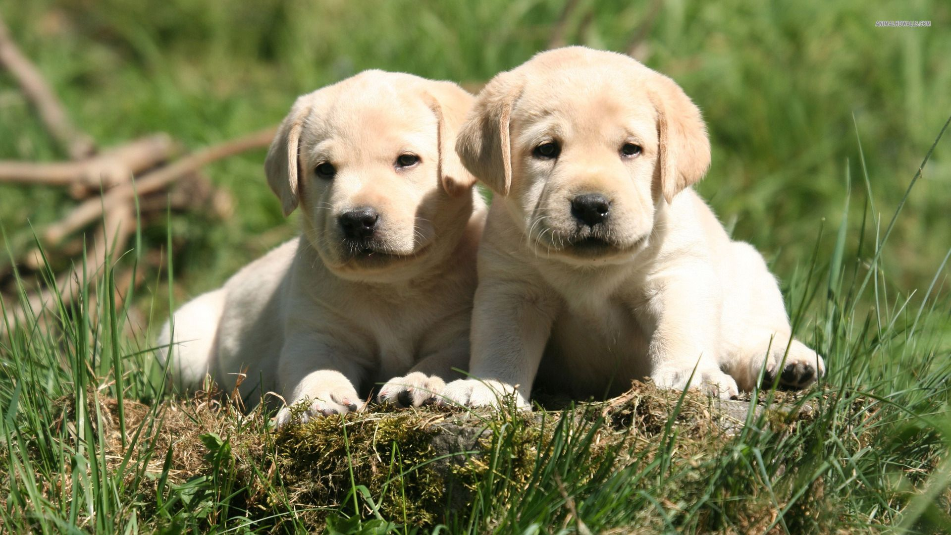 Labrador Puppy Wallpapers Free Download Great Love Art