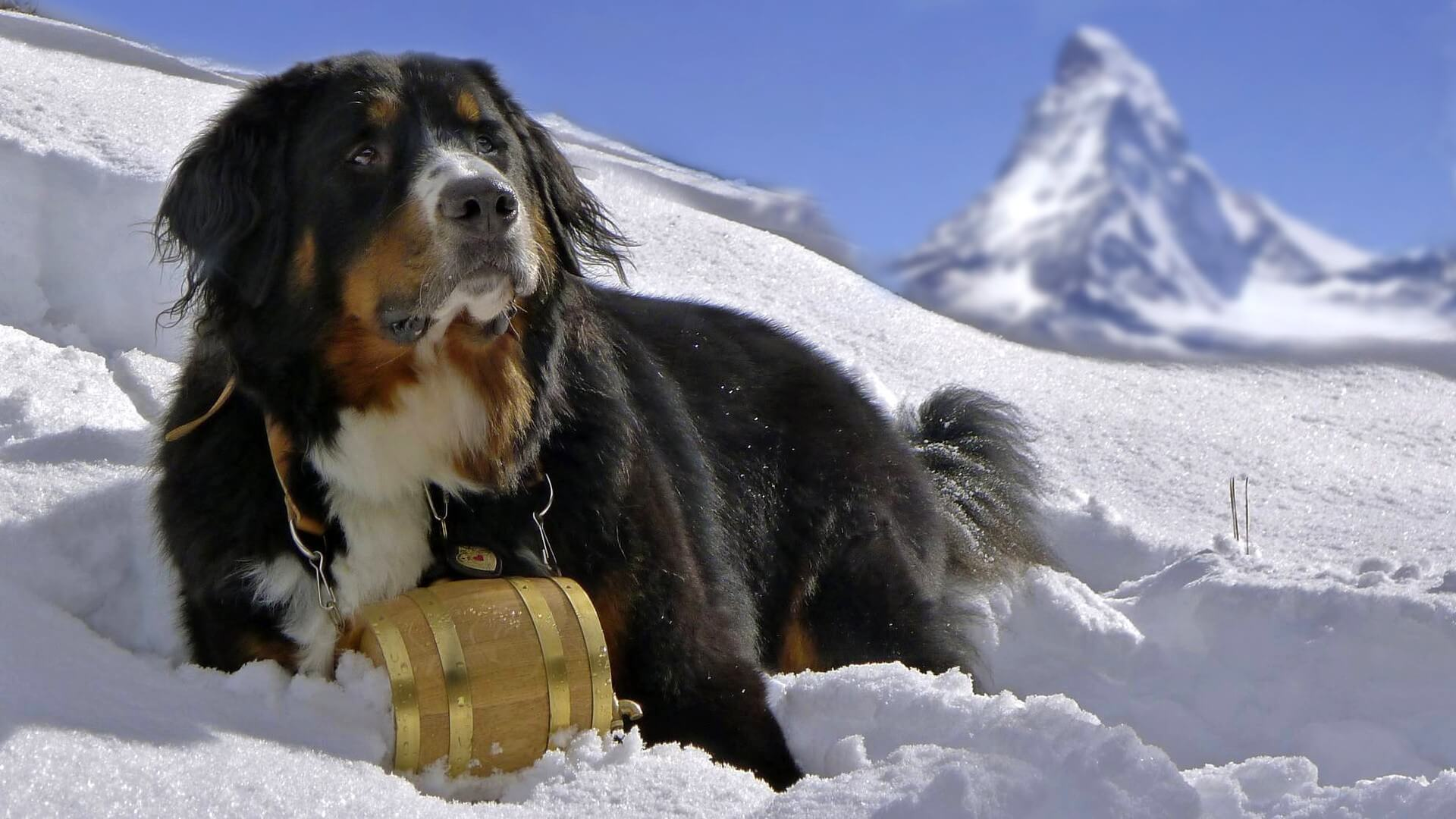 Bernese Mountain Dog in snow 1080p Widescreen wallpapers for laptop